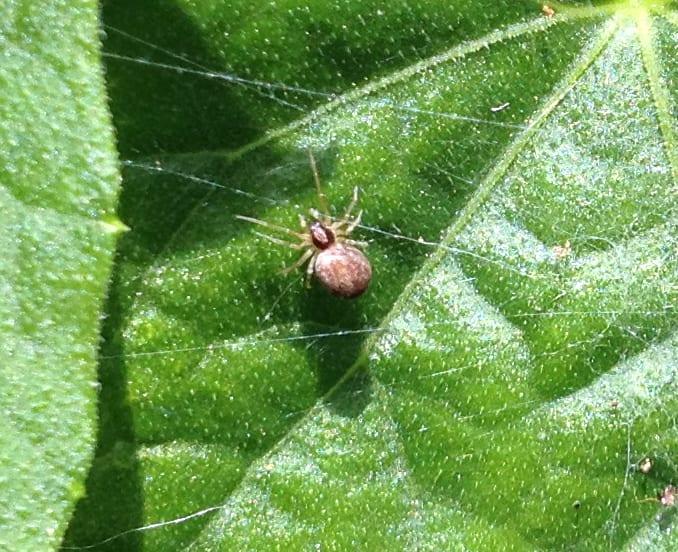 garden orbweaver spider