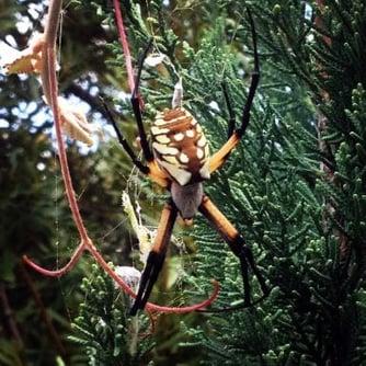 Zipper Spider, Spider Pest Control