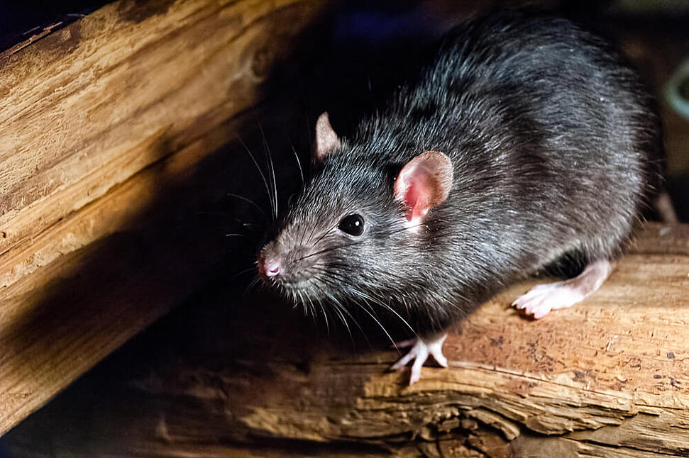 Rodent Control The Woodlands Tx