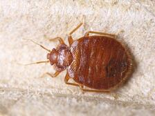 Bed Bug Control, bed bug, bed bug treatment