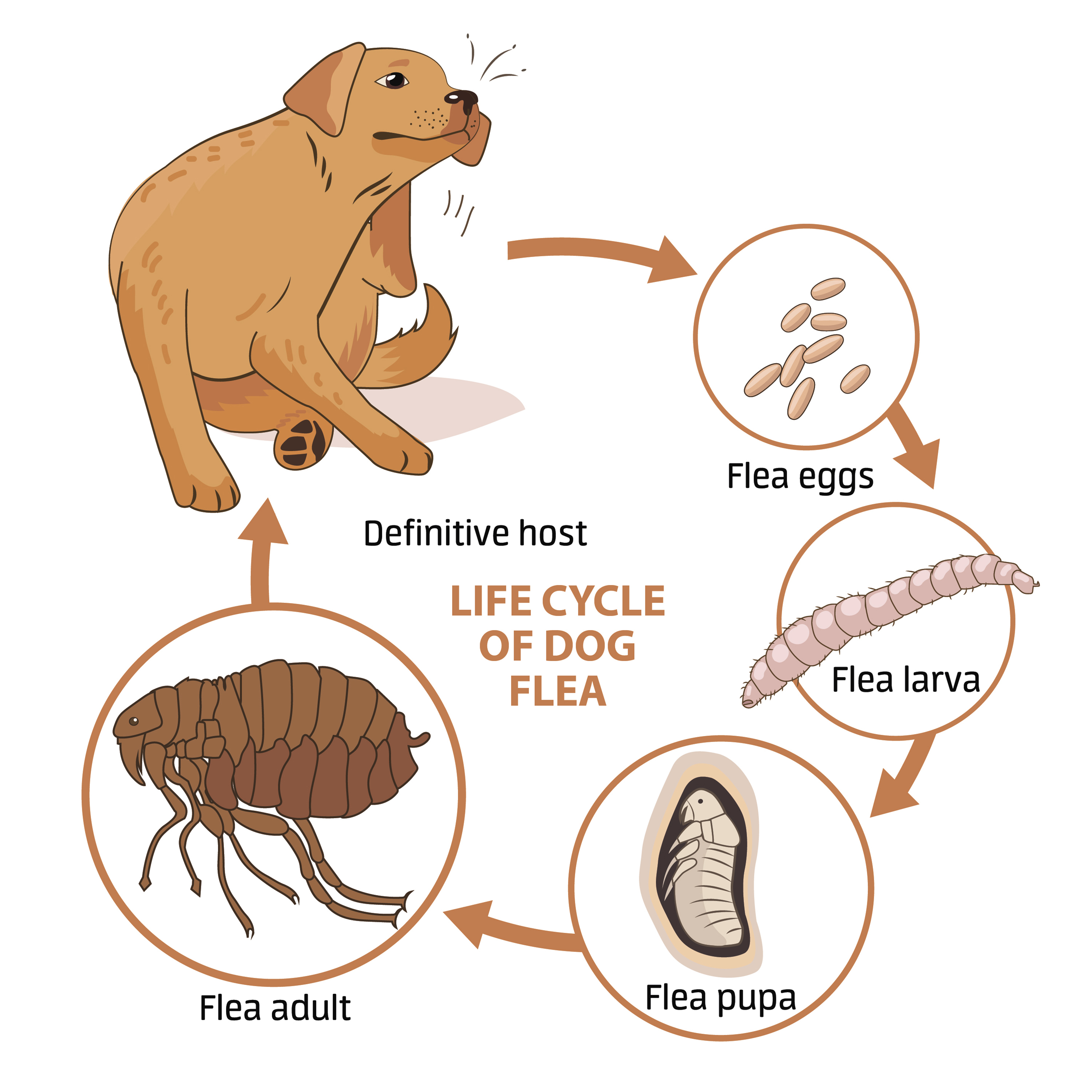Life Cycle Of Fleas