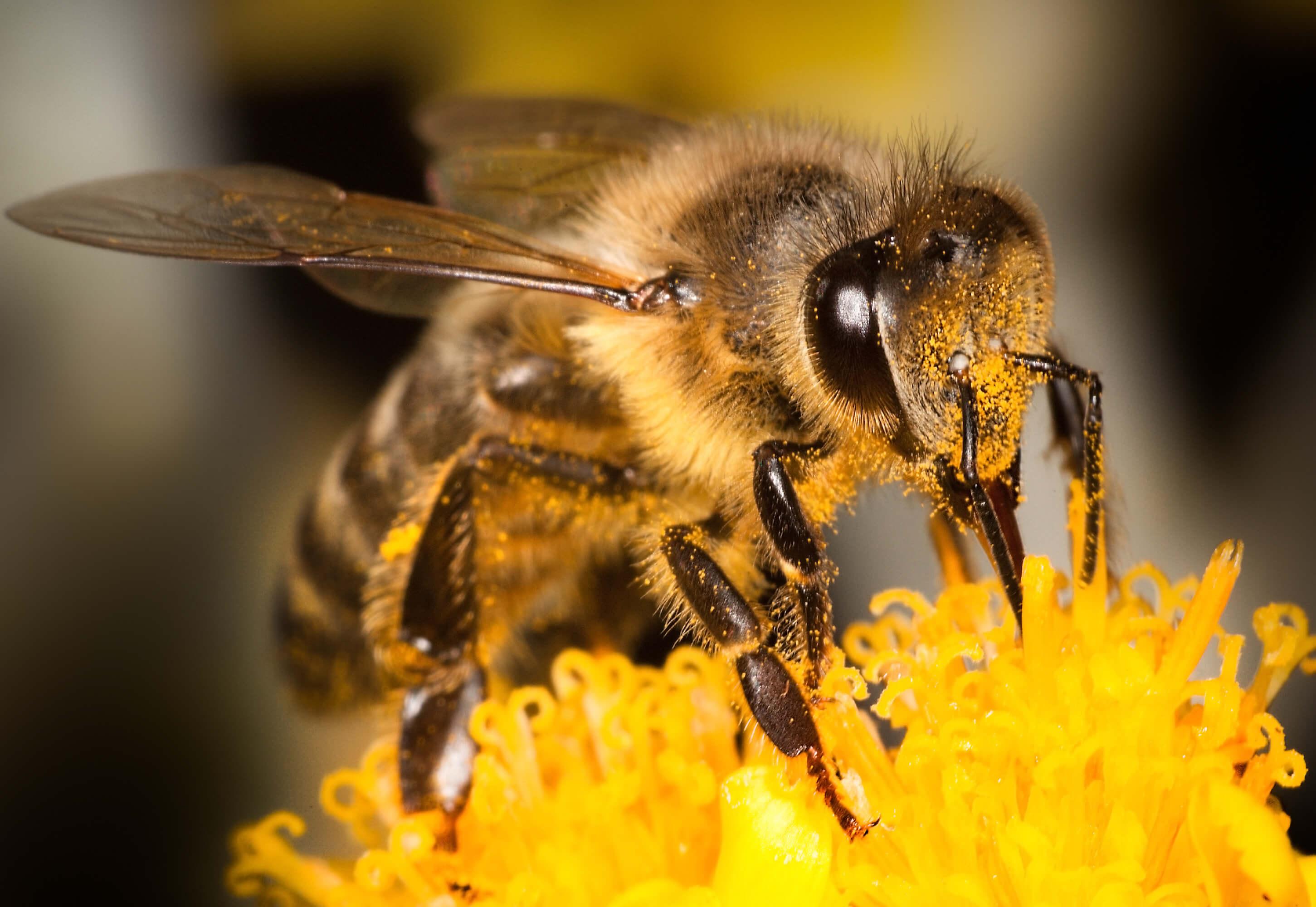 Honey Bee Close Up On Flower